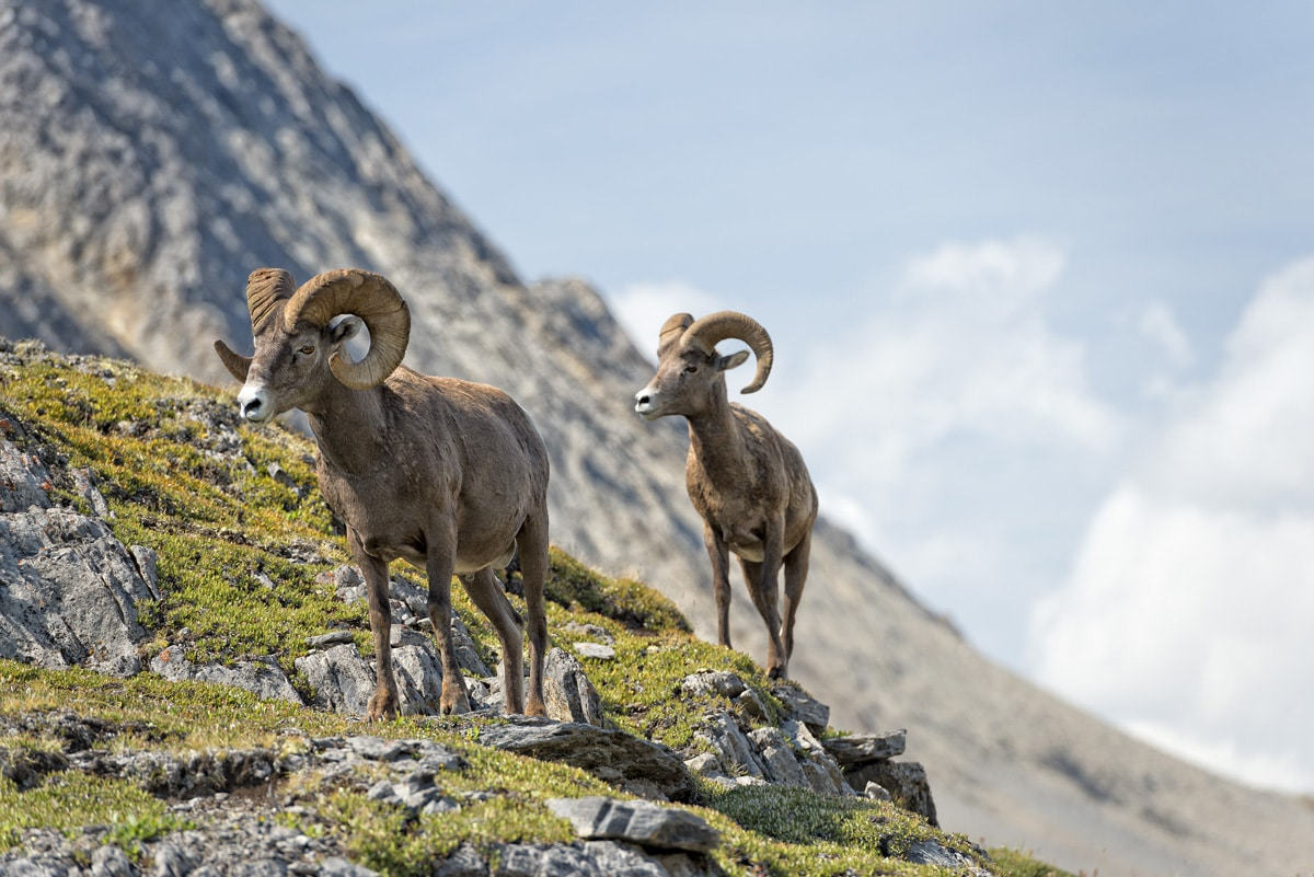 Big Horn Sheep Research